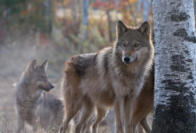 lone_wolf--TEST